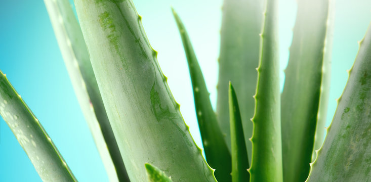 Aloe Vera closeup. Aloevera plant on blue background. Natural organic renewal cosmetics, alternative medicine. Skincare concept