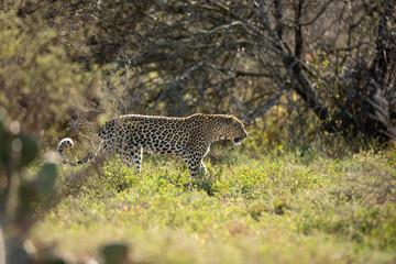 Patrolling Leopard