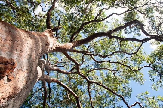 eucalyptus tree view from below with blue sky,Sydney,Australia