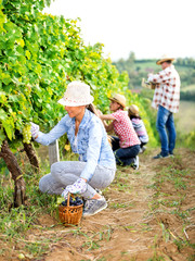 Family in Vineyard Harvesting Grapes