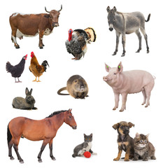 collage livestock isolated on white