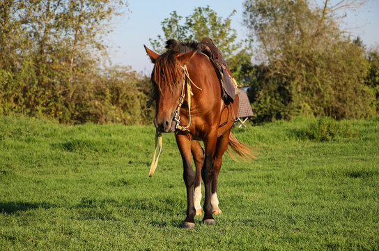 Horse of Caspian breed, red color in one of the lagoons of the Caspian Sea, Anzali city, north of Iran