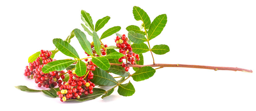 """Pink Pepper' branch also called """"Brazil Pepper"""" isolated over white background"""