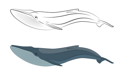 whale marine mammals from the order of cetaceans linear and character