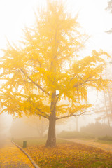 Magic tree Ginko Beloba with yellow autumn leaves in the old park during the fog. Fascinating healing tree Ginko Beloba during autumn leaf fall on a foggy day. Portrait orientation.
