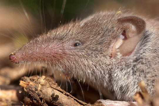 Greater shrew with white teeth (Crocidura russula) coming out of hiding