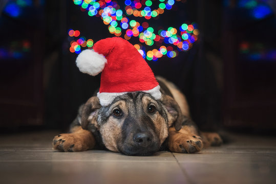 Sad  dog dressed in santa's hat at christmas