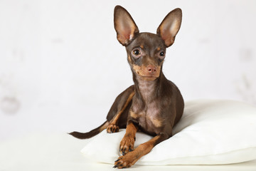 Toy Terrier puppy lying on a pillow on the couch