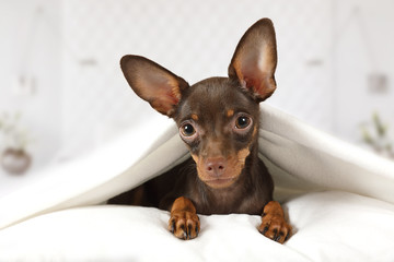 Portrait of a toy Terrier puppy dog in a bed