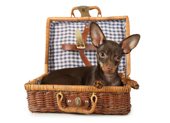 Toy Terrier dog lying in a suitcase for picnic