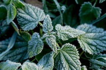 Urtica. Frosty green nettle leaves in autumn, natural environment  background