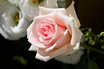 rosa rosè