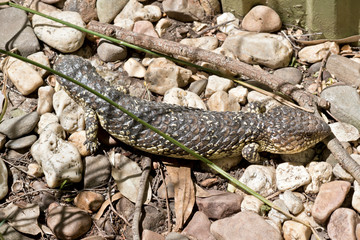 shingle back or stumpy tail lizard