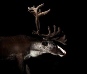 reindeer portrait isolated on black background