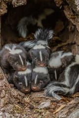 Skunks in Minnesota