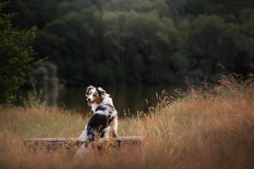 dog Australian Shepherd sitting on a bench. Pet in nature near lake. Autumn mood
