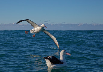 Southern royal albatross, coming into land on the ocean, Kaikoura, New Zealand