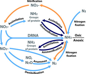 Vector illustration of the nitrogen nutrients cycle. Figure of all the processes in the nitrogen biogeochemical cycle in a biology book.