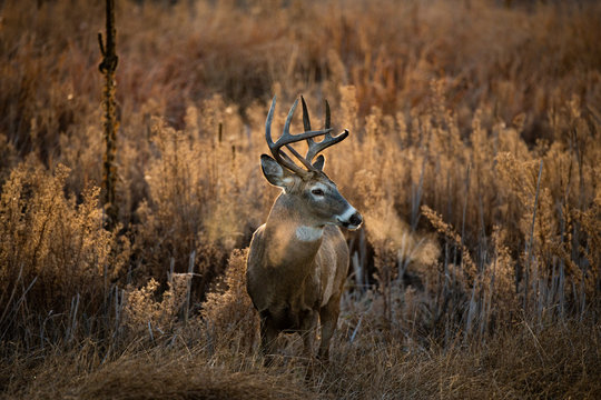 A White-tailed Deer Buck on the Prairie of Colorado