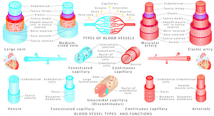 Arteries and veins. Structure of blood vessels.