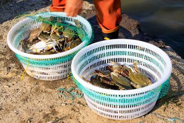Artificial selection yellow crabs