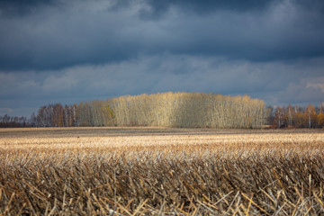 Forest plantation in the field in the fall and dark clouds
