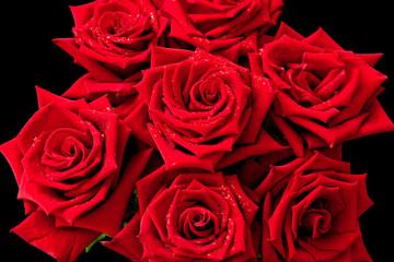 Dark red rose with rain drops closeup