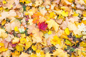 earth and grass covered with a carpet of colorful leaves, shot in autumn during the fall