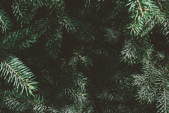 Christmas fir tree background with copy space. Fir tree branches texture.