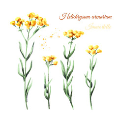 Sandless immortelle elements set. Yellow flowers Helichrysum arenarium. Medicinal plant. Watercolor hand drawn illustration, isolated on white background