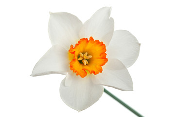 Narcissus spring flower on white