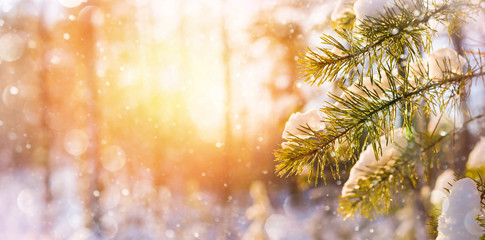 Winter bright background with snowy pine branches in the sun. Natural bright background.
