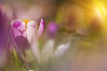 Amazing sunlight on spring flower crocus. View of magic blooming spring flowers crocus growing in wildlife. Majestic sunbeams on spring flower crocus