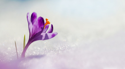 Amazing sunlight on spring flower crocus. View of magic blooming spring flowers crocus growing in wildlife. Big panoramic photo of majestic spring flower crocus in snow