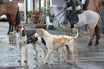 Foxhound hunt pack and horses