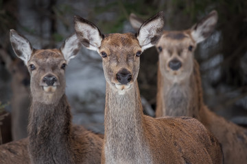 Great Trio: Three Curious Females Of The Red Deer  Cervidae, Cervus Elaphus  Are Looking Directly At You, Selective Focus On The Central Animal . Christmas Story From The Wild Nature Of Belarus.