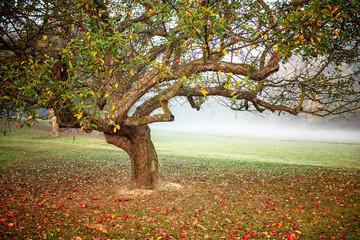 A nice apple tree in the garden in autumn