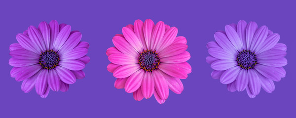 Fine art still life color flower macro portrait image of a trio/three isolated wide open blooming pink violet blue african / cape daisy / marguerite blossoms on violet background