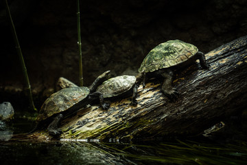 Trois tortues