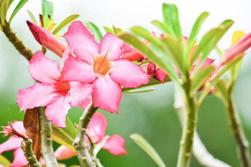 Adenium or desert rose flower with background nature from the garden in spring day tropical design for wallpaper have copy space and text.