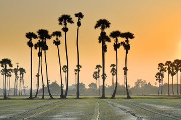 Beautiful scenery of sugar palm trees in rice field in Thailand at sunrise.