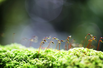 Wall Mural - close up of sphagnum moss in rain forest background.