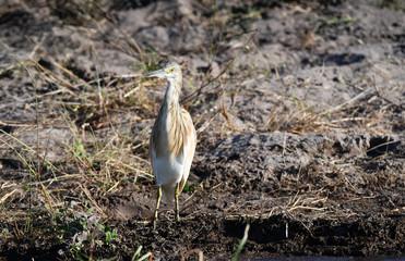 Juvenile Squacco Heron
