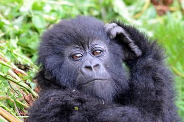 Baby gorilla, Rwanda