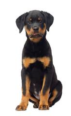 Wall Mural - rottweiler puppy sitting