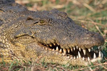 Poster Crocodile ein Krokodil zeigt seine Zähne, Chobe River, Botswana