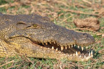 Acrylic Prints Crocodile ein Krokodil zeigt seine Zähne, Chobe River, Botswana