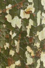 écorce arbre platane