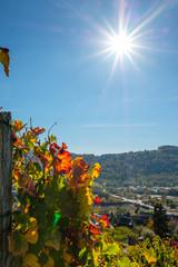 Fototapete - Weinreben Weinberg Herbst Sonnenstrahlen Hochformat