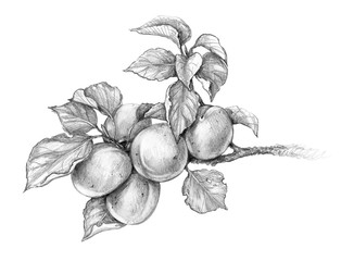 Apricot Branch  Pencil Drawing